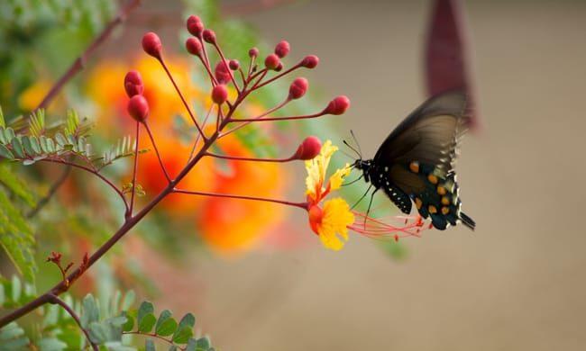 1493040572Poinciana-Pride-of-Barbados-Caesalpinia-pulcherrima-detail-butterfly