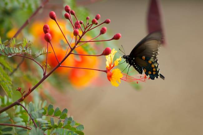 Caesalpinia pulcherrima, planta nativa de nicaragua